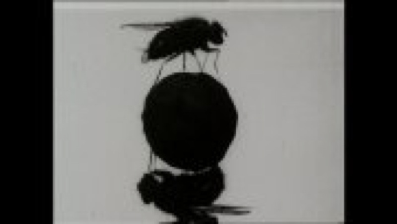 La mouche acrobate de Percy Smith, 1min, 1908