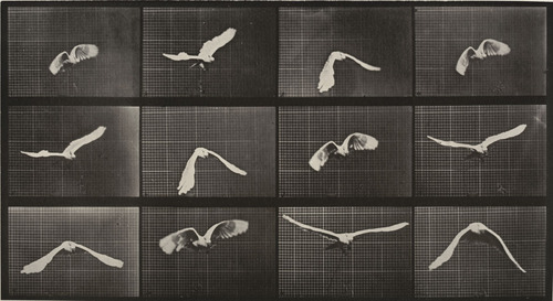 Cockatoo vol: Plaque 762 de Animal Locomotion d'Eadweard Muybridge, 1884_1886