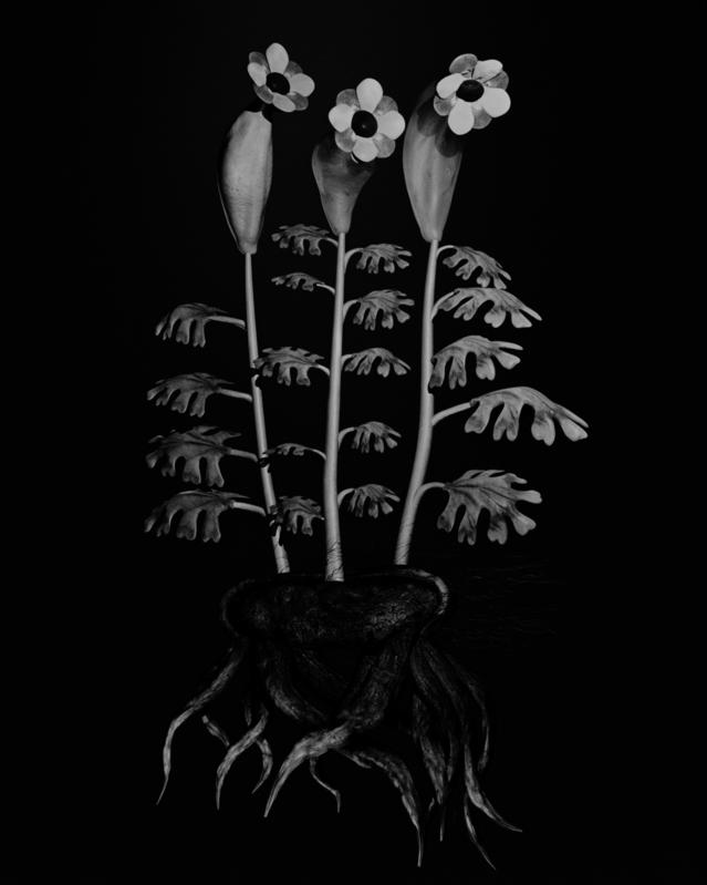 Etudes botaniques Voynich de Miljohn Ruperto et Ulrick Heltoft, 2013