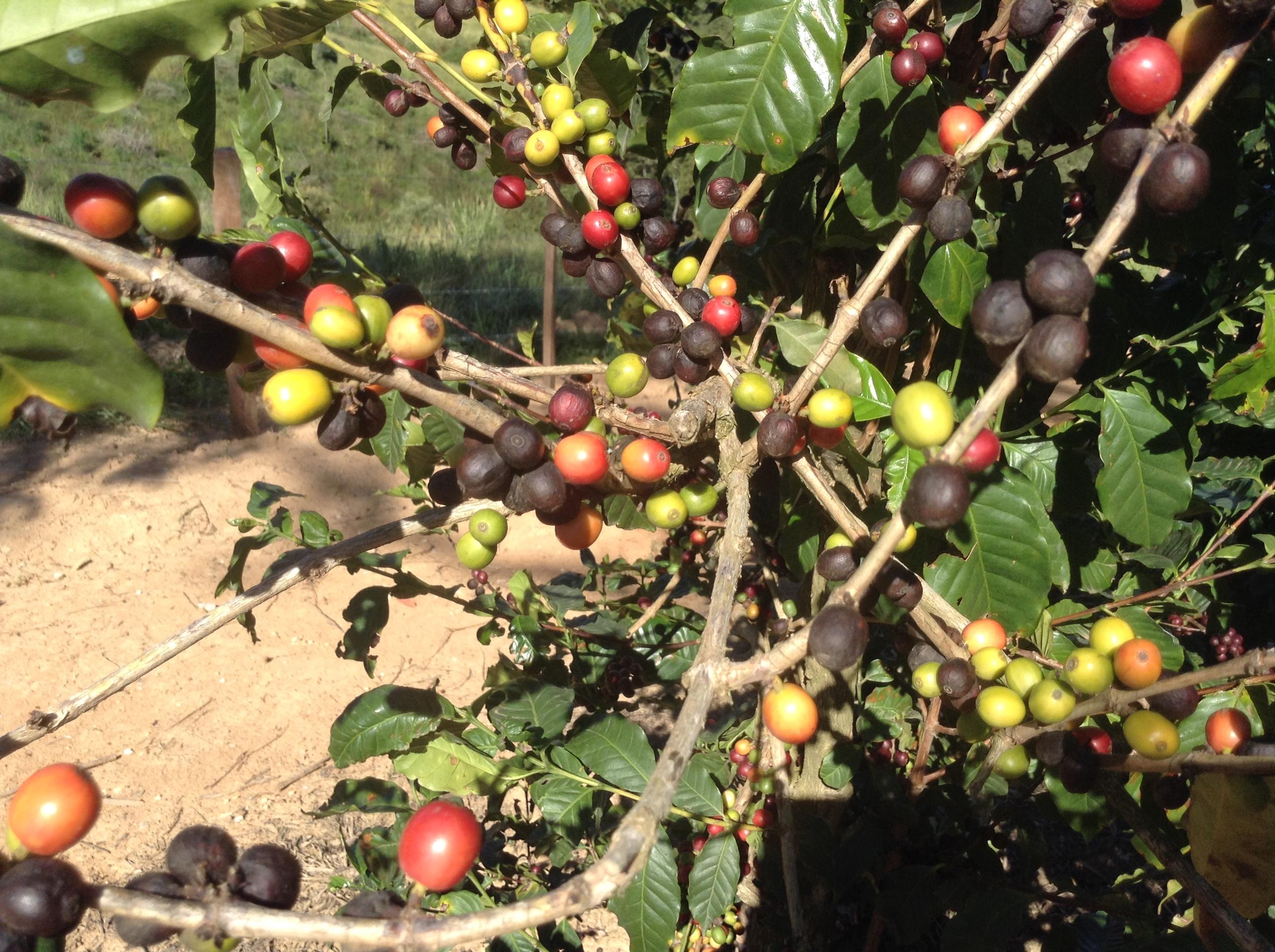 Guaxupé, fruit du café à différents stades de maturation... 12 juillet 2015
