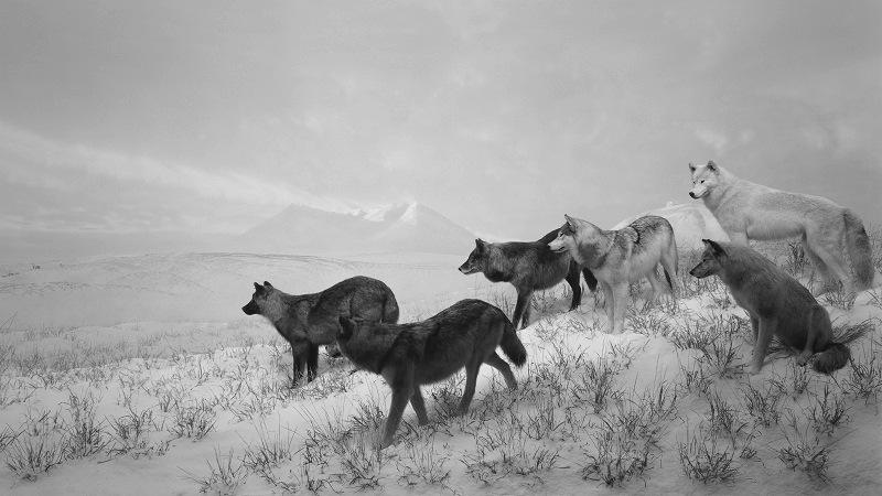 alaskan-wolves-hiroshi-sugimoto